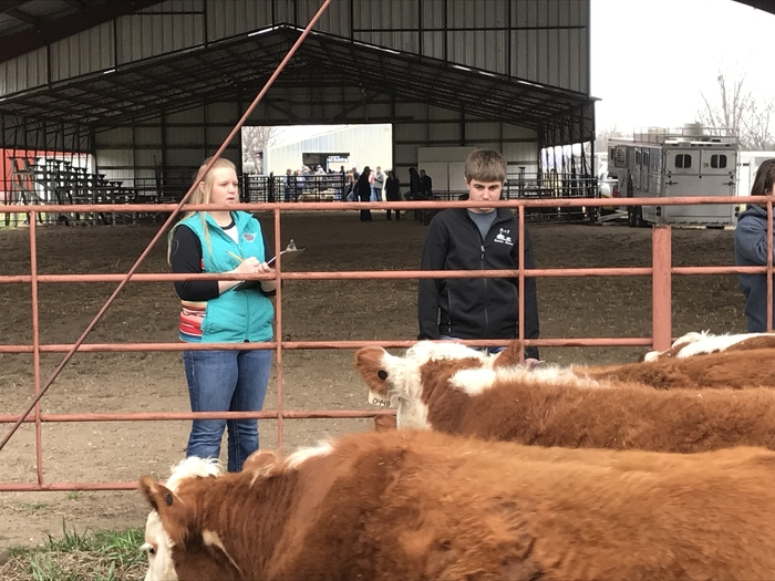 Kamry and Spencer analyzing Hereford heifers